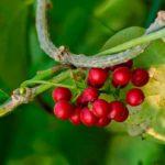 Nectorlike Giloy (Tinospora Cordifolia) - Language: Marathi